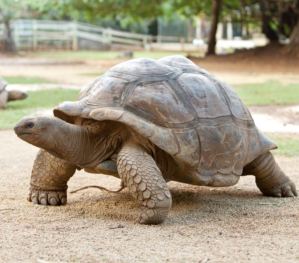 På strandferie i Maurutius levede der engang vilde kæmpeskildpadder